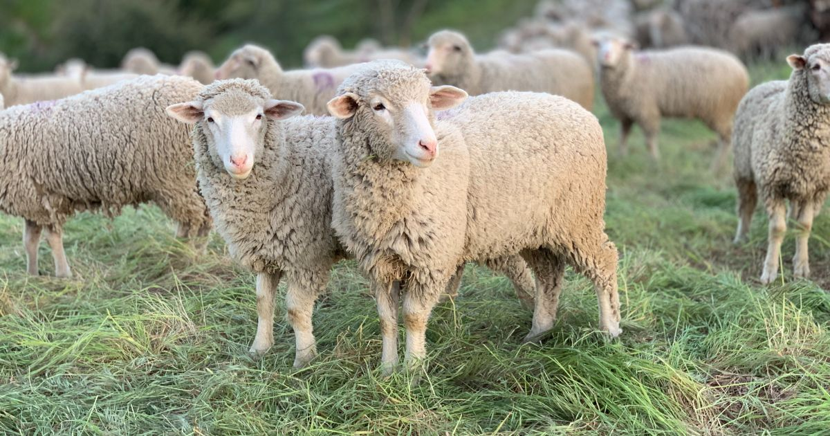 why are most people sheep